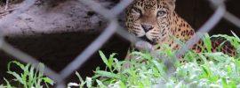Trivandram Zoo Cheetah